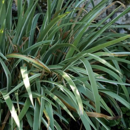 Iris foetidissima 'Variegata'