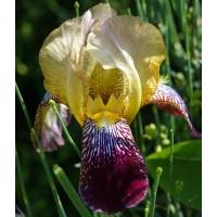 Iris x sambucina