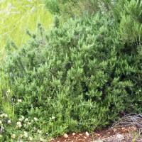 Rosmarinus officinalis 'Foxtail' - Romarin prostré