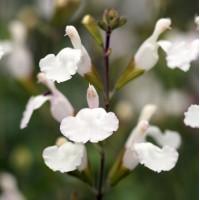 Salvia microphylla 'Glacier' - Sauge arbustive blanche