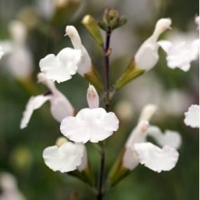 Fleur de sauge arbustive blanche 'Glacier'