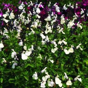 touffe de Salvia 'Heatwave Glimmer' - Sauge arbustive blanc crème