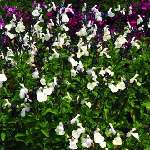Salvia 'Heatwave Glimmer' - Sauge arbustive blanc crème