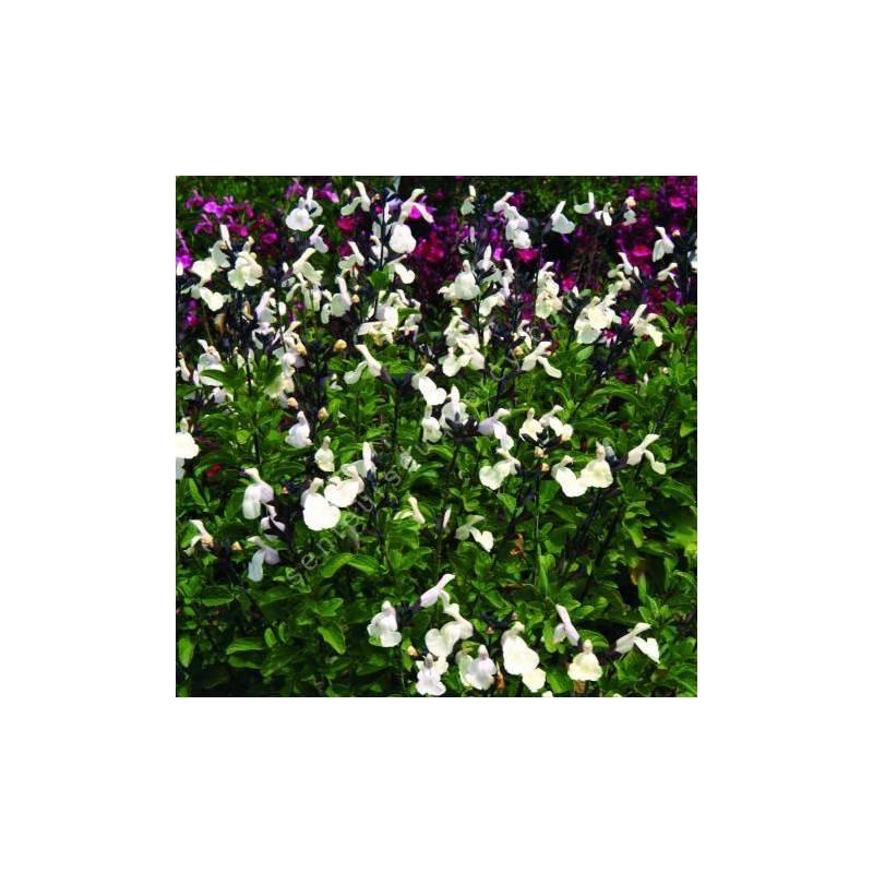 Salvia 'Vague de Chaleur Blanche' - Sauge arbustive blanc crème