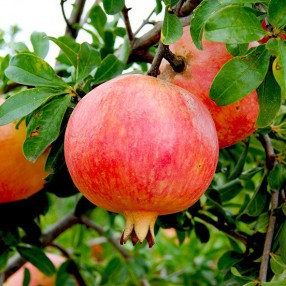 Punica granatum 'Mollar de Elche' - Grenadier à fruit