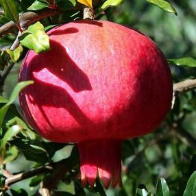 Punica granatum 'Fina Tendral' - Grenadier à fruit