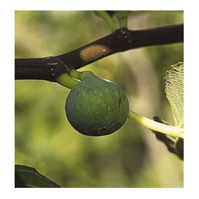 Figuier 'Marseillaise' - Ficus carica