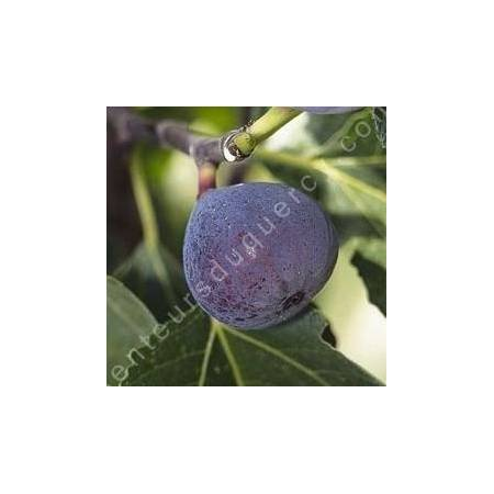 Figuier 'Pastillère' - Ficus carica
