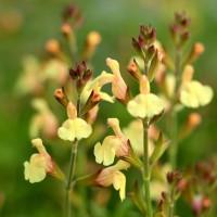 Salvia 'Golden Girl' - Sauge arbustive jaune compacte