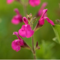 Salvia 'Lueur d'Orchidée' - Sauge arbustive magenta