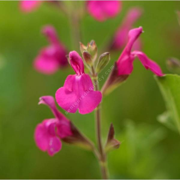 grappe de Salvia 'Orchid Glow' - Sauge arbustive magenta