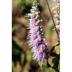 Elsholtzia stauntonii - Menthe en arbre
