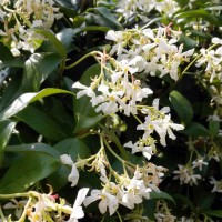 Trachelospermum jasminoides - Jasmin étoilé