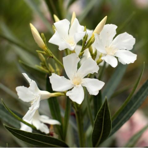Laurier-rose 'Soeur Agnès' - Nerium blanc simple