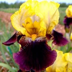 Iris 'Blatant'