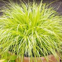 Pennisetum alopecuroides 'Hameln Gold' - Herbe aux écouvillons dorée