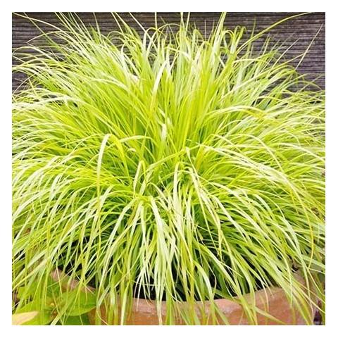 https://www.senteursduquercy.com/4114-thickbox/pennisetum-alopecuroides-hameln-gold-herbe-aux-ecouvillons-doree.jpg
