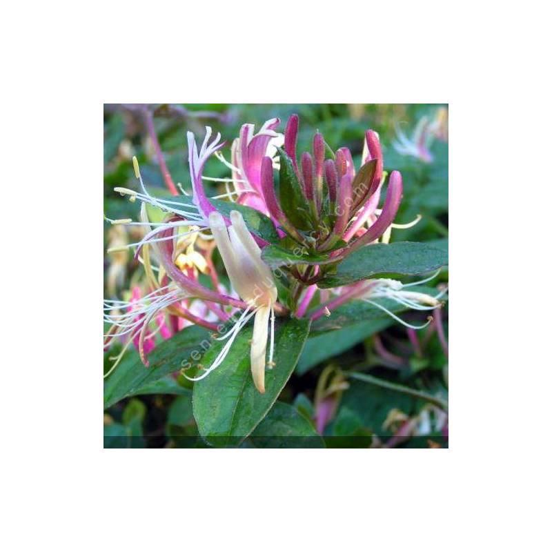 Lonicera japonica var. chinensis - Chèvrefeuille du Japon