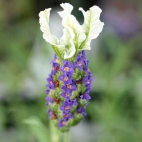 Lavandula stoechas 'Madrid Blue' - Lavande papillon