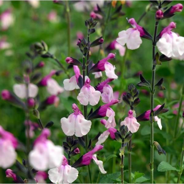 touffe de Salvia 'Dancing Dolls' - Sauge arbustive rose 2 tons