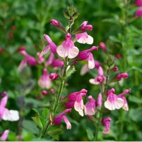 Salvia 'Shell Dancer' - Sauge arbustive rose