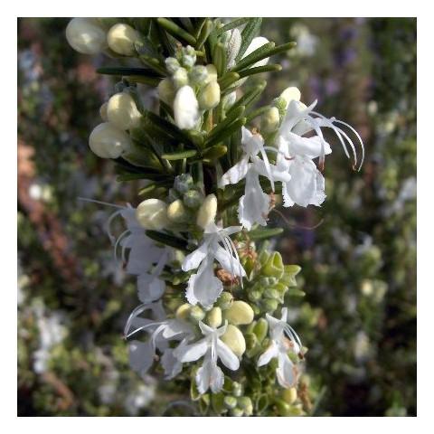 Rosmarinus officinalis 'Albiflorus' - Romarin àfleurs blanches