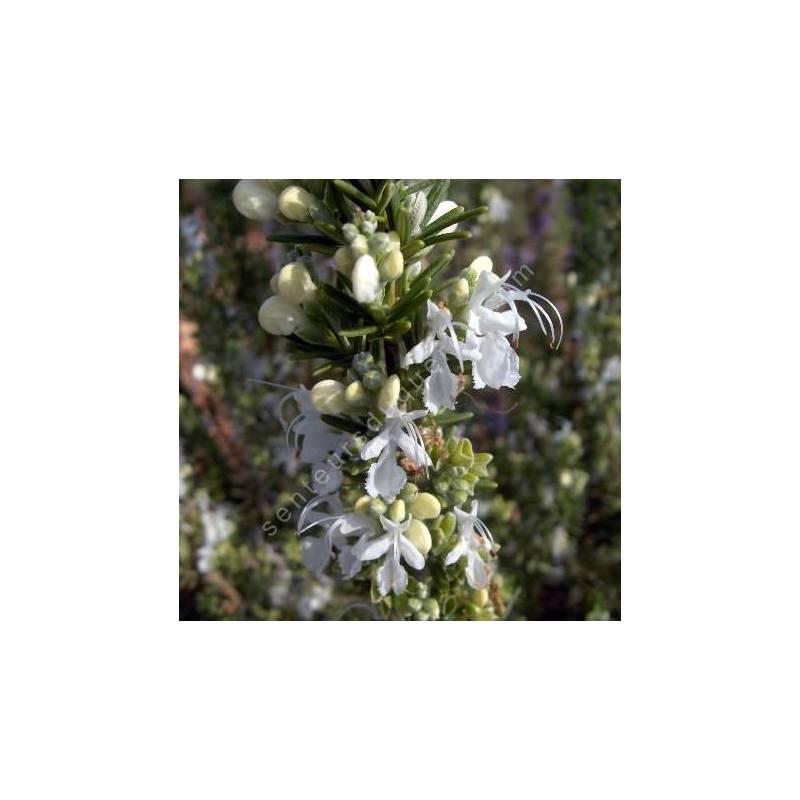 Rosmarinus officinalis 'Albiflorus' - Romarin à  fleurs blanches