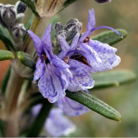 Rosmarinus officinalis 'Tuscan Blue'  - Romarin