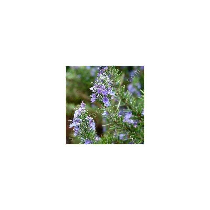 Rosmarinus officinalis 'Arp' - Romarin