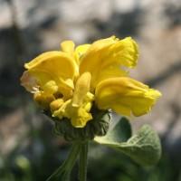 Phlomis chrysophylla - Sauges de Jérusalem
