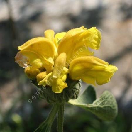 Phlomis chrysophylla