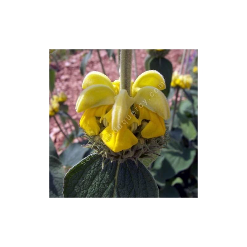 Phlomis 'Edward Bowles' - fleur