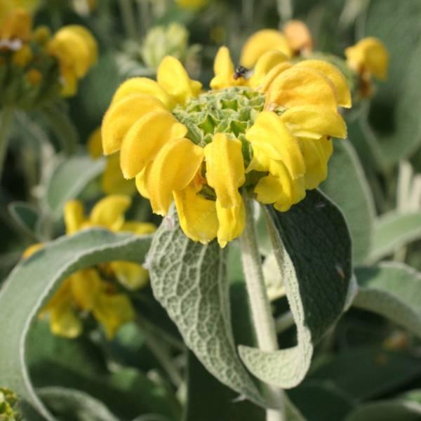 Phlomis fruticosa - Sauge de Jérusalem