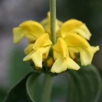 Phlomis grandiflora - Sauge de Jérusalem àgrande fleur