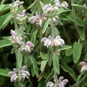 Phlomis italica - Sauge de Jérusalem