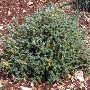 Phlomis lanata - Sauge de Jérusalem àpetites feuilles