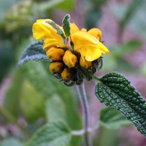 Phlomis longifolia - Sauge de Jérusalem àlongue feuille