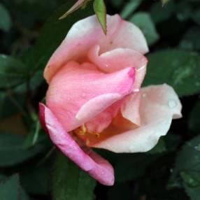 Rosa x odorata 'Mutabilis' - Rosier de Chine
