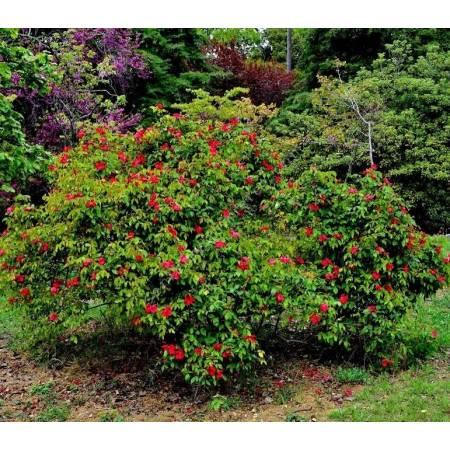 Rosa x odorata 'Sanguinea' - Rosier de Chine rouge