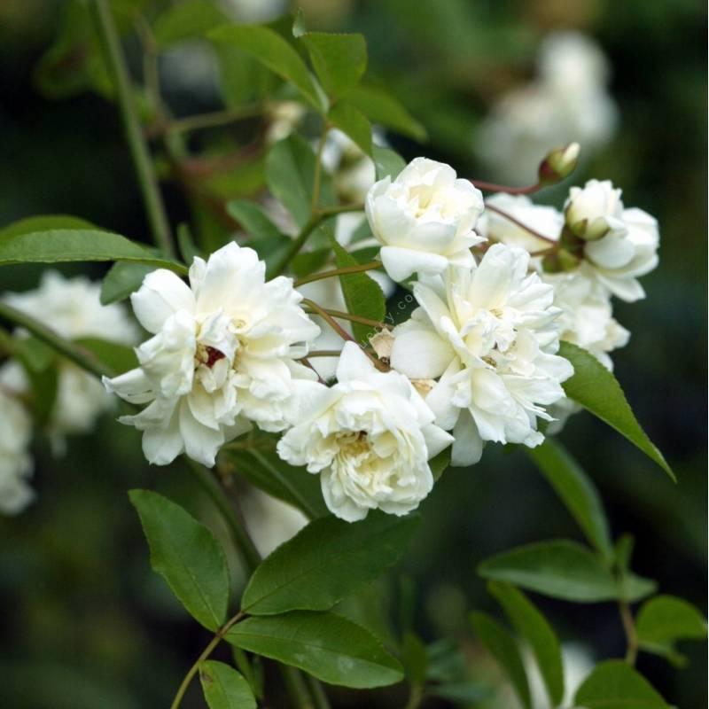 Rosa banksiae 'Albo Plena' - Rosier liane blanc