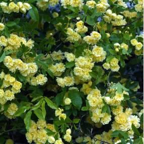 Rosa banksiae 'Lutea Plena' - Rosier de Banks jaune double