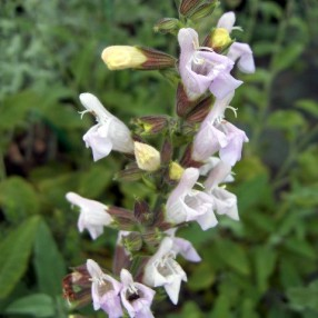 Salvia tomentosa ''fleur rose'' - Sauge tomenteuse rose