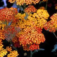 Achillea 'Feuerland' - Achillée millefeuille orange