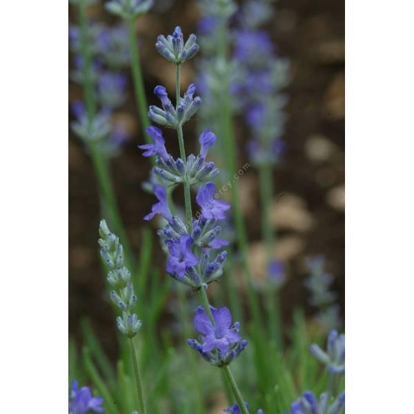 Lavandula angustifolia 'Princess Blue', Vraie Lavande