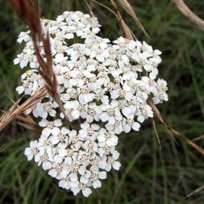 Achillea millefolium, Achillée millefeuille