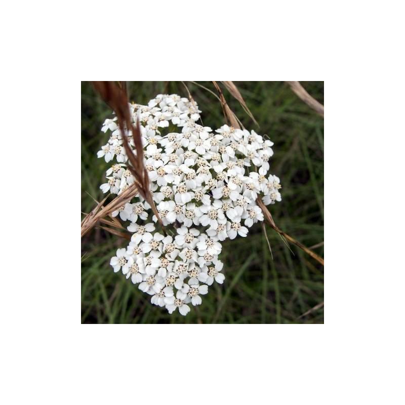 Achillea millefolium - Achillée millefeuille
