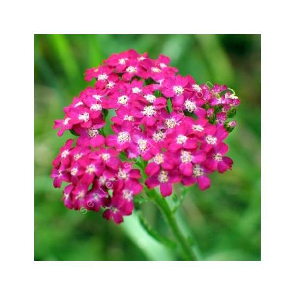 Achillea millefolium 'Cerise Queen' - Achillée millefeuille