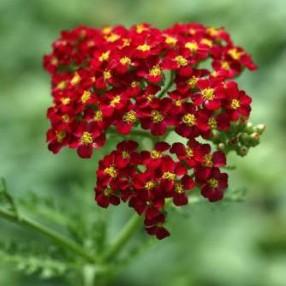 Achillea millefolium 'Paprika' - Achillée millefeuille