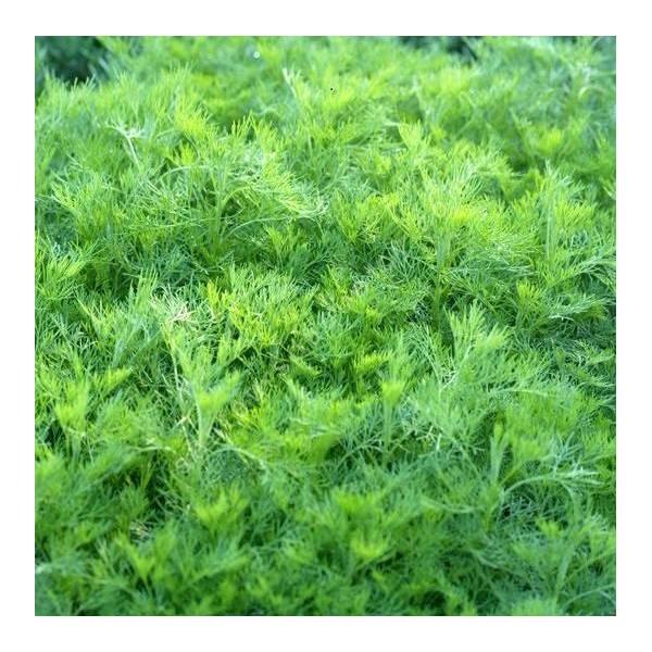 Artemisia abrotanum - Arquebuse - Aurone
