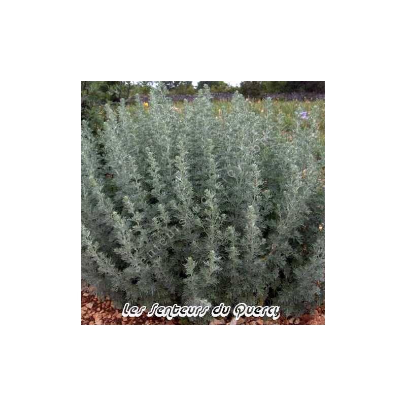 Artemisia absinthium - Absinthe
